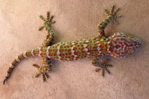 sticky finger gecko
